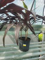 CORDYLINE ASSORTED - 3 GALLON